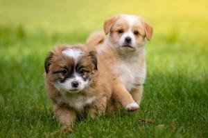 Jonge Honden
